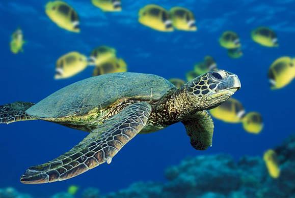 Αυξάνονται οι νεκρές χελώνες καρέτα-καρέτα