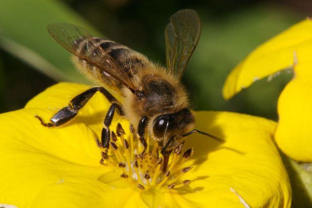Το γιατροσόφι που θα σε ανακουφίσει από το Τσίμπημα της μέλισσας