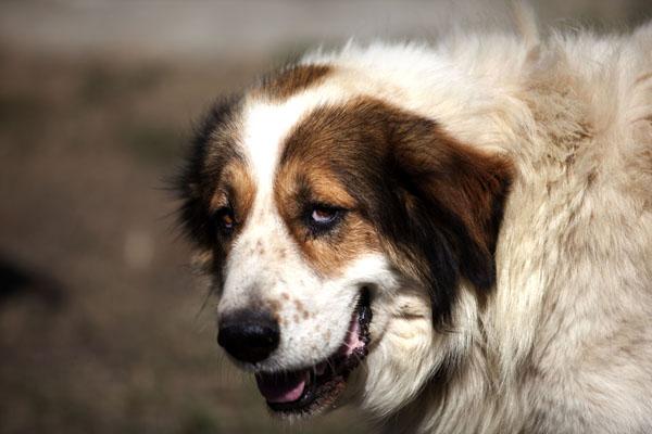 Δηλητηρίασαν 26 ποιμενικούς σκύλους στο Κεφαλόβρυσο Ελασσόνας