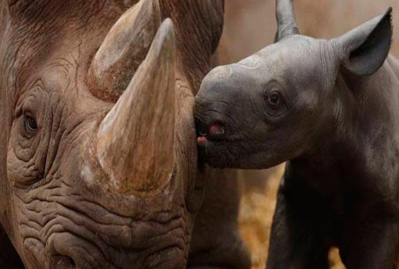 Με 350.000 δολάρια μπορεί κάποιος να σκοτώσει απειλούμενο μαύρο ρινόκερο