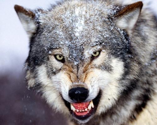 Οι προβατόσχημοι λύκοι